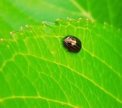 Petit scarabée (Richard et Audrey) Tags: macro insecte feuille vert fluo scarabée miniature