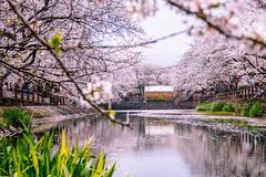 Cherry blossoms (Hiro_A) Tags: cherryblossoms sakura flower pond pink saijo ehime shikoku japan spring nikon d7200 sigma 1770 1770mm