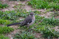 Bird in the Bronx   Ave en el Bronx (Edgar.Omar) Tags: bird ave pájaro tamron80210384 pentax k50 adaptall nature wild spring bronx