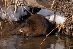 Muskrat pond (JD~PHOTOGRAPHY) Tags: wild wildlife wildanimal wildlifeportrait mammal animal northamericanwildlife pond canon canon6d muskrat