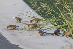 Common Waxbills (Charlie Lee.) Tags: hawaii oahu 하와이 unitedstatesofamerica 미국 오아후 pacificocean 태평양 commonwaxbill waxbill 새 조류 bird birds makapuupoint makapuu makapuupointlighthousetrail