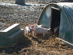 Our little home in the country (Kirkleyjohn) Tags: piglets pigs suffolk blythburgh