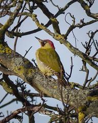 Green woodpecker resting high up in the tree.• • • • • #birds #birdsofinstagram #bird #birdwatching #birdphotography #your_best_birds #birding #birdstagram #nuts_about_birds #wildlifephotography #kings_birds #bestbirdshots #wildlife #allmightybirds #feath (justin.photo.coe) Tags: ifttt instagram green woodpecker resting high up tree• • birds birdsofinstagram bird birdwatching birdphotography yourbestbirds birding birdstagram nutsaboutbirds wildlifephotography kingsbirds bestbirdshots wildlife allmightybirds featherperfection instabirds instabird birdlovers birdfreaks pocketbirds birdextreme greenwoodpecker justinphotocoe lumixg9