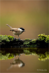 Willow tit (Gertj123) Tags: bird water reflection tree netherlands canon hide holterberg arjantroost wildlife winter