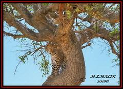 LEOPARD (Panthera pardus)  WITH IT'S RECENTLY KILL...MASAI MARA.....SEPT 2018. (M Z Malik) Tags: nikon d3x 200400mm14afs kenya africa safari wildlife masaimara keekoroklodge exoticafricanwildlife exoticafricancats flickrbigcats leopard pantheraparduc ngc npc
