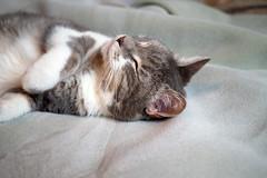 Please Don't Disturb (Eclectic Jack) Tags: cat pet feline dream blanket sleep nap time gato