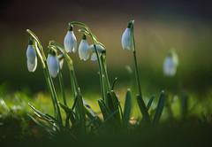 Hurra der Frühling ist da (KaAuenwasser) Tags: schneeglöckchen pflanze zwiebel frühling blüten blüte zierblume blume makro sony ilce7rm3