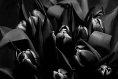 Tulips (plasticpilchard) Tags: affinityphoto affinity lowkey blackandwhite bw monochrome momo flowers tulips tulip