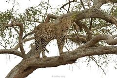 Leopard (Panthera pardus) (Jeffrey Jang Photography) Tags: leopard pantherapardus tarangirenationalpark tanzania tz animal cat mammal nature naturephotography nikon africa safari wildlife wildlifephotography jeff jeffrey jang jeffreyjangphotography m377652018