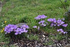 DSC_2523 Crocus (PeaTJay) Tags: nikond750 sigma reading lowerearley berkshire macro micro closeups gardens outdoors nature flora fauna plants flowers crocus