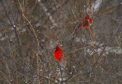 Friday! (Matt Champlin) Tags: friday tgif cardinal bird birds canon 2018 life nature outdoors feeder winter cold chilly red beautiful colorful