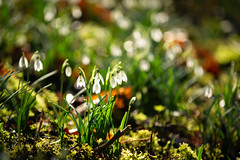 Snowdrops (Future-Echoes) Tags: 5star 2019 backlit bokeh depthoffield dof flowers hedinghamcastle light nature snowdrops white halstead england unitedkingdom gb
