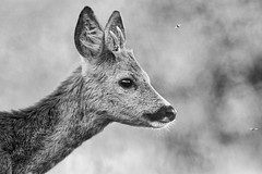 Brocard (maenerphoto) Tags: animals chevreuil brocard nature naturewild wildlife animauxsauvage passion ilovephotography photographie photography noiretblanc blackandwhite