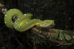 Emerald tree boa (Corallus batesii) (ggallice) Tags: emeraldtreeboa corallusbatesii corallus boidae boa snake green yellow yasuninationalpark yasuni ecuador amazon rainforest southamerica reptile herp
