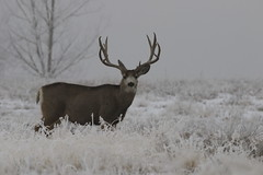Big Mule Deer Buck On Cold, Frosty Morning (fethers1) Tags: rockymountainarsenalnwr rmanwr rmanwrwildlife coloradowildlife deer muledeer mule buck