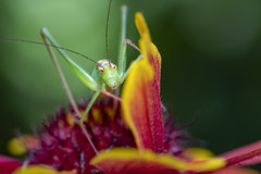 *HELLO* :-) (Blende1.8) Tags: grasshopper heupferd grashüpfer makro macro closeup sel90g 90mm sony alpha ilce6300 a6300 6300 alpha6300 face insect insekt insects nature natur outdoor summer sommer blüte flower blossom yellow orange red color colours colorful colourful vivid light spoton details