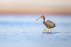 Little Blue Heron (wn_j) Tags: birds birding wildlife wildanimals wildlifephotography canon canon1dxii canon500mm nature naturephotography floridawildlife floridabirds heron littleblueheron
