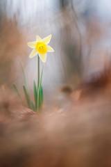 Narcissus pseudonarcissus (Thomas Vanderheyden) Tags: flore flora fleur flower nature vegetal bokeh beautifulearth ngc fujifilm xt1 samyang135mm thomasvanderheyden macro proxi narcissuspseudonarcissus sun soleil colors couleur