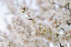 Flor de almendro (angd1981) Tags: flordealmendro flor blanco whiteflowers floresblancas naturelovers nature naturephotography natureisanartist almondtree almendro mydiary seasons nikon 50mm flowerlovers flowerphotography macro