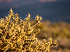 Prickly (Bryan Esler Photo) Tags: nevada unitedstatesofamerica us blackvelvetcanyon lasvegas cactus desert sunrise
