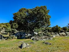 Encina centenaria. Segovia. (Airbeluga) Tags: paisajes segovia nature naturaleza delarisca castillaleón senderismo españa sendcerrocaloco