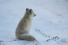 Contemplation (Dan King Alaskan Photography) Tags: arcticfox fox vulpeslagopus contemplation tundra snow arctic northslope alaska canon50d sigma150500mm protectwildlife preservewilderness