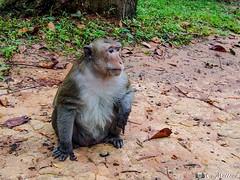 180726-140 Singe Rhésus (2018 Trip) (clamato39) Tags: singe monkey angkor cambodge cambodia voyage trip asia asie nature wild sauvage animal rhésus olympus