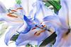 Fantastic lily ... (Julie Greg) Tags: lily nature nautre flower flowers colours canon canon77d details macro
