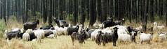 Le troupeau du Conservatoire des races d'Aquitaine : brebis, béliers et agneaux landais