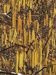 Beverbos, Corylus : catkins (foto_morgana) Tags: arbre aurorahdr2019 belgië belgique belgium betulaceae beverbos bos boom catkins chatons closeup commonhazel corylusavellana hazelaar invierno hiver katjes macrophotography nature naturereserve natuur natuurreservaat on1photoraw2019 outdoor reservanatural réservenaturelle topazjpegtorawai tree vlaamsbrabant vzwnatuurpunt wemmel winter