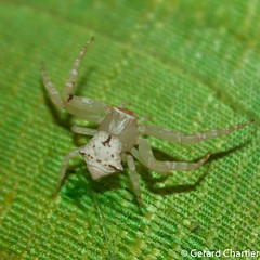 Crab Spider (Thomisidae) (GeeC) Tags: arachnida animalia araneomorphae nature arthropoda araneae cambodia kohkongprovince tatai thomisidae crabspiders spiders truespiders
