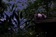 Cat (theq629) Tags: carplake animal cat taiwan hualian