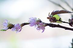 Ein Hauch von Blüten - A touch of blossoms (heinrich.hehl) Tags: frühling natur flora zweig pfirsischblüten makro macro peachblossoms branch nature spring