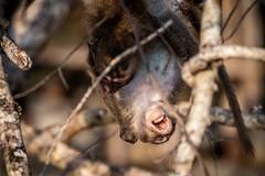 Ao Nang Monkeys (grzegorzmielczarek) Tags: javaneraffe krabi longtailedmacaqque macacafascicularis aonang langschwanzmakak thailand amphoemueangkrabi th