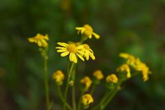 Желтые цветы мая / Yellow flowers of may (Владимир-61) Tags: весна май природа цветы цветение желтыеромашки желтый зеленый spring flower blossom yellowdaisy yellow green sony ilca68 minolta 28135 natureinfocusgroup