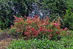 Wild Himalayan flowers !! (Lopamudra !) Tags: lopamudra lopamudrabarman lopa trek trekking forest flora flower flowers nature india sikkim himalaya himalayas beauty beautiful