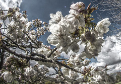 HDR Blossom - a fisheye perspective (The Happy Snapping Dog Walker) Tags: blossom flowers petals flora tree spring branch nature natural hdr luminance canon eos80d samyang fisheye outside hampshire basingstoke seasons