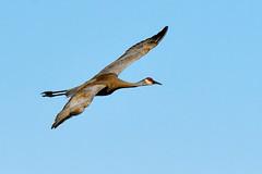 Grue du Canada ----------- Sandhill crane ----------- Grulla canadiense (Jacques Sauvé) Tags: grue du canada sandhill crane grulla canadiense bif en vol flight oiseau bird ave dundee st anicet québec steanicet