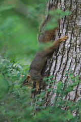 Tree Squirrel (Chris vT) Tags: pinecanyon clayton squirrel treesquirrel