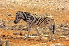 Zebra @ Olifantsbad (cb dg photo) Tags: stripes safari olifantsbad waterhole vacation desert travel namibia africa etoshanationalpark etosha wildlifephotography wildlife animal zebra
