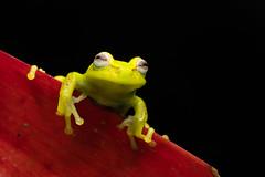 Tree Frog Portrait (worm600) Tags: animal ecuador frog treefrog polkadottreefrog