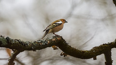 a Chaffinch on a branch (Franck Zumella) Tags: chaffinch pinson branch branche red rouge watching bird oiseau winter hiver rain pluie darkness high iso sombre haut orange hank 새 sony a7s a7 tamron 150600 marron grey brown invisible composition compo alone seul tree arbre forest foret