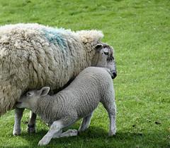 Mother and Child (littlestschnauzer) Tags: lamb feeding sheep mum mother child young animals field yorkshire ysp farm 2019 spring springtime lambs