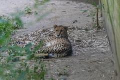 Cheetah (Accipiter22) Tags: acinonyxjubatus cheetah rhodeisland rogerwilliamspark rogerwilliamsparkzoo wildlife wildlifephotography zoo adorable animals bestnatureshots bigcat cat fastcat naturalbeauty natureshots naturegram providence