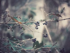 Berries (J.C. Moyer) Tags: winter cold gx80 lumix panasonic branches woods forest flora nature rustic leaves berries
