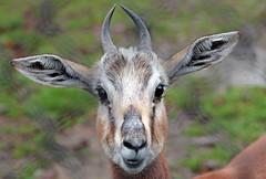 mhorrgazelle Blijdorp 094A0380 (j.a.kok) Tags: animal blijdorp mammal dier gazelle antilope mohrrgazelle asia azie