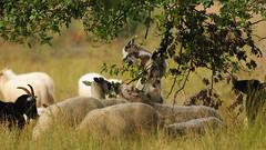 DSC_2857x_00001 (frans.oost) Tags: animal sheep goat tree landscape grass abigfave dmslair