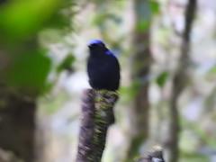 Terrible phot of Sumatran Cochoa (benyeuda) Tags: sumatra bird birdwatching birding kerinci gunung mtkerinci mountkerinci gunungkerinci kerinciseblat rainforest symphalangussyndactylus cochoa endemic