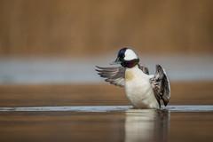 Dancing Drake (rob.wallace) Tags: bufflehead drake wing flap waterfowl duck alexandria va potomac river