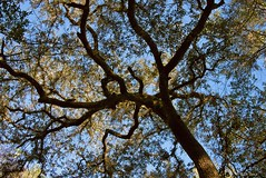 Oak Tree Canopy (surfcaster9) Tags: oak tree blue sky florida lumixg7 nature panasonic outdoors canopy